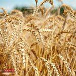 ارزش تولیدات بخش کشاورزی گنبدکاووس 16 هزار میلیارد ریال است