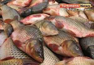ماهیان گرمابی گلستان 300x208 - رونق بازار ماهیان گرمابی در شرق گلستان