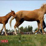 نمونه برداری از ۱۵۰ راس اسب اصیل ترکمن/ اسب های خراسان شمالی شناسنامه دار می شوند