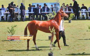 مسابقات زیبایی اسب در گنبدکاووس 300x188 - پایتخت سوارکاری ایران میزبان جشنواره ملی زیبایی اسب ترکمن