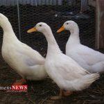 بیش از ۵۰۰ تن گوشت اردک در گلستان تولید شد