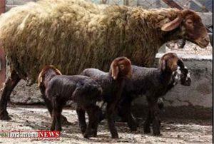 توزیع گوشت بره با قیمت 37 هزار و 500 تومان در گلستان