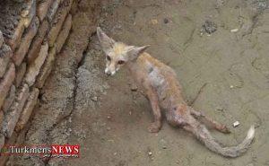 روباه مصدوم در شهرستان گمیشان درمان شد 300x185 - توله روباه مصدوم در شهرستان گمیشان درمان شد