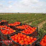 تولید ۱۸۰ هزار تن گوجه فرنگی در گلستان