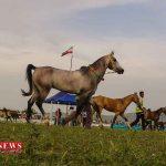 اسب اصیل ترکمن 1 1024x633 3 1 150x150 - جشنواره ملی زیبایی اسب ترکمن در کلاله لغو شد