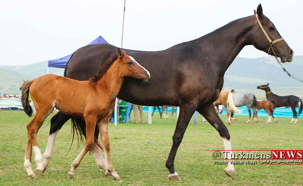 مسابقات زیبایی اسب کلاله