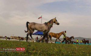 چهاردهمین جشنوار اسب اصیل ترکمن در صوفیان کلاله برگزار می شود