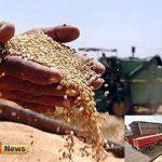 گندم 150x150 - خرید بیش از 18 هزار تن گندم بذری توسط شبکه تعاون روستایی گلستان