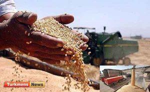 گندم 300x185 - خرید بیش از 18 هزار تن گندم بذری توسط شبکه تعاون روستایی گلستان