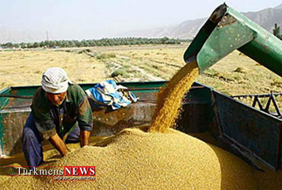 خرید 898 هزار تن گندم از کشاورزان گلستان