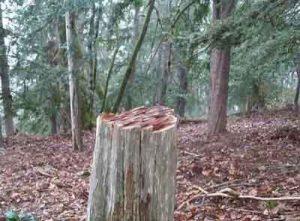 سرخدار دادگستری گنبد 300x221 - گلایه رییس دادگستری گنبدکاووس از قطع درختان سرخدار برای ساخت قلیان