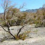 گز ترکمن 150x150 - بیکاری ناشی از شیوع کرونا موجب افزایش قطع درختچه گز ترکمن شد