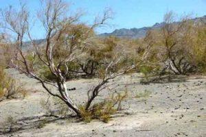 گز ترکمن 300x200 - بیکاری ناشی از شیوع کرونا موجب افزایش قطع درختچه گز ترکمن شد