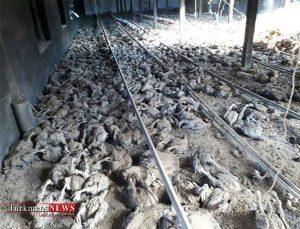 ده ها هزار مرغ در مرغداری در آق قلا تلف شدند