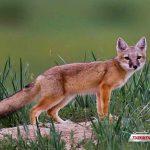 ترکمنی 1 150x150 - نجات روباه قرمز ترکمنی در دستور کار اداره حفاظت محیط زیست