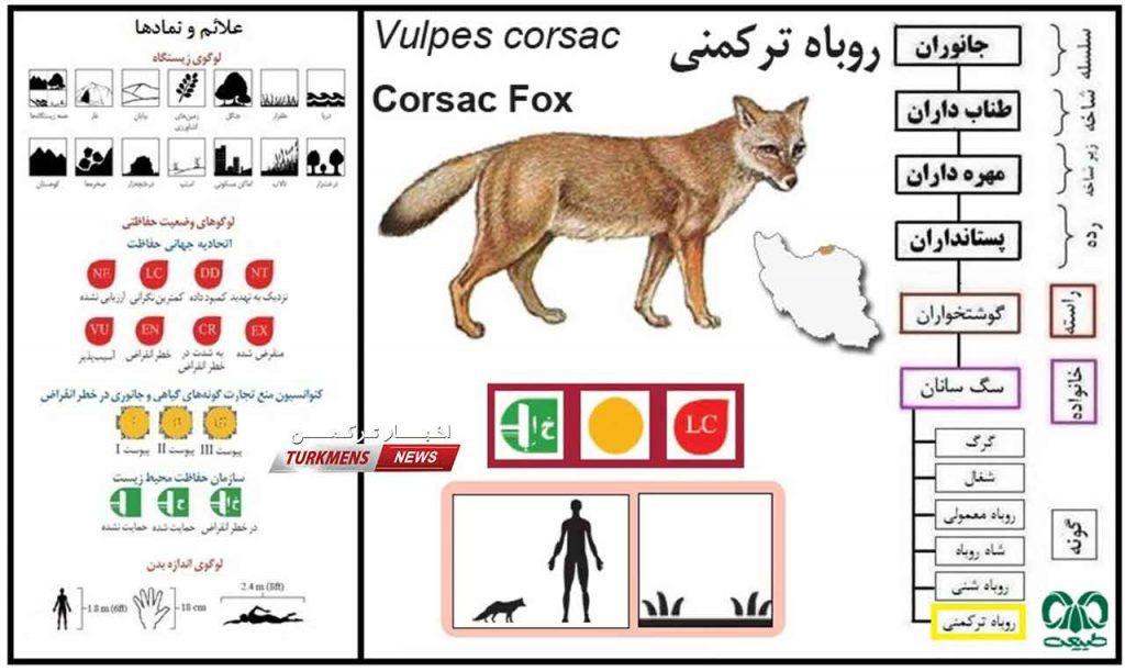 ترکمنی 2 1024x611 - نجات روباه قرمز ترکمنی در دستور کار اداره حفاظت محیط زیست