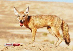 ترکمنی 3 300x211 - نجات روباه قرمز ترکمنی در دستور کار اداره حفاظت محیط زیست