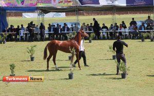 اسب علی آباد کتول 2 300x188 - دومین مسابقه ملی زیبایی آیینی اسب ترکمن در شهرستان علی آباد کتول برگزار شد