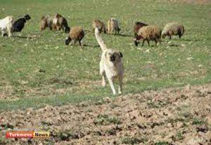گله 300x206 - طمع چوپانی که سگ گله اش را سلاخی کرد!