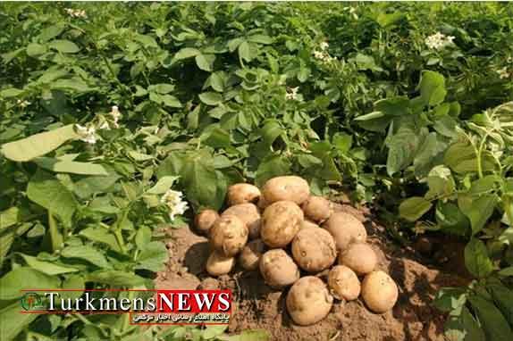 کشت 6200 هکتار سیب زمینی در گلستان