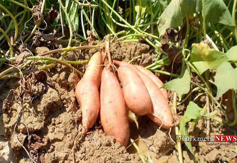 سیب زمینی شیرین، جایگزینی مناسب برای کشت برنج