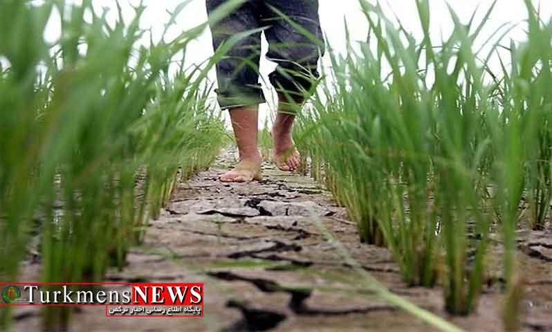 ضرورت ممنوعیت کشت برنج و آتش زدن مزارع و خشکسالی