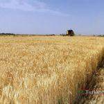فرآوری گندم در گلستان با رویکرد اقتصادی