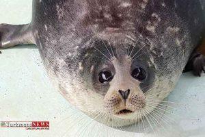 خزری 2 300x200 - خطر، خطر! برای تنها پستاندار دریای خزر، فک خزری!