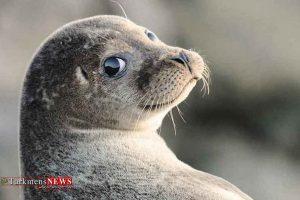 خزری 4 300x200 - خطر، خطر! برای تنها پستاندار دریای خزر، فک خزری!