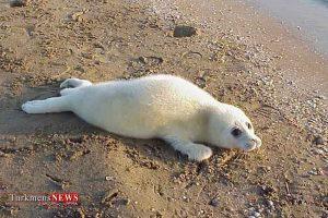 خزری 5 300x200 - خطر، خطر! برای تنها پستاندار دریای خزر، فک خزری!