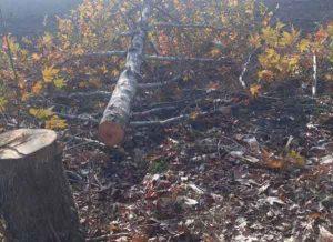 درختان چنار گنبدکاووس 300x218 - قطع شبانه درختان چنار، معضل جدید خیابانهای خلوت گنبدکاووس