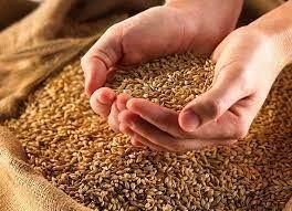 گندم - هشدار به دولت در مورد قیمت گندم