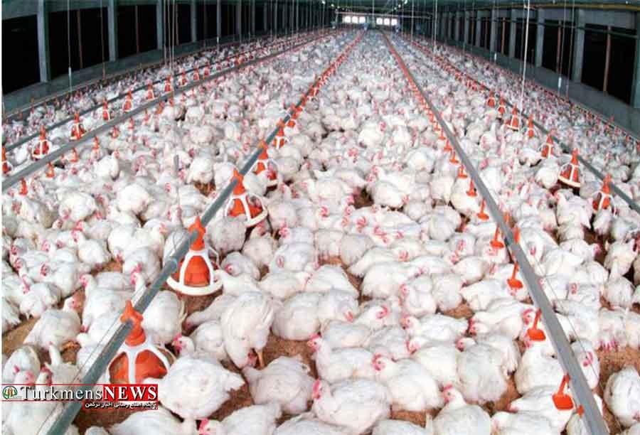مرغداری های گلستان سوخت جایگزین تولید برق می گیرند