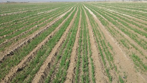 گنبد - خشکسالی در کمین ۳۵ هزار هکتار از مزارع گنبدکاووس است