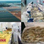 ۸۰ درصد میگو در استان گلستان به خارج از کشور صادر میشود