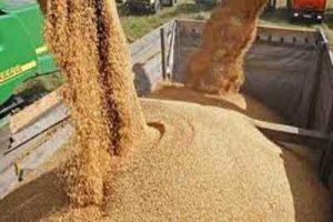 اختلاط گندم در کیفیت نان 300x200 - نقش اختلاط گندم در کیفیت نان