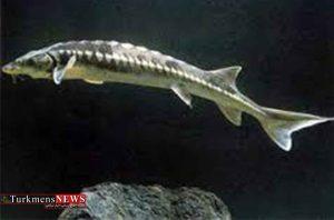 وضعیت بحرانی ماهیان خاویاری خزر با وجود ممنوعیت صید تجاری