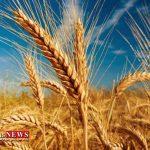 پخت نان با گندم مرغوب استان گلستان
