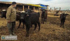 گاومیش 300x178 - حمایت گلستان از سرمایهگذاری در صنعت پرورش گاومیش