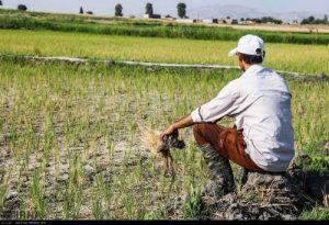 300x205 - کشاورزان گنبد چشم انتظار حمایت دولت