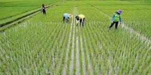 برنج 1 300x150 - ممنوعیت کشت برنج در کشور  لغو شد