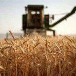 و گندم تضمینی در گلستان 150x150 - خرید بیش از ۱۶۰ هزار تن کلزا و گندم تضمینی در گلستان