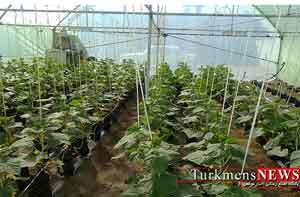 طرح کشت گلخانهای هیدروپونیک در گنبدکاووس اجرا می شود