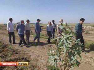 رونق زراعت چوب در گنبدکاووس گامی به سوی اقتصاد مقاومتی