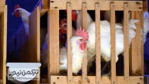 11 3 300x169 - گرانترین مرغ جهان در یکی از روستاهای فرانسه پرورش داده میشود