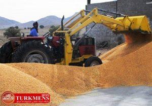 1396080910215960712365514 300x209 - تخلف در عرضه ۴۳۳۳ تن گندم دولتی در گلستان