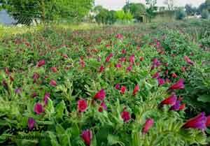 کشت گیاهان دارویی در شمال گنبدکاووس