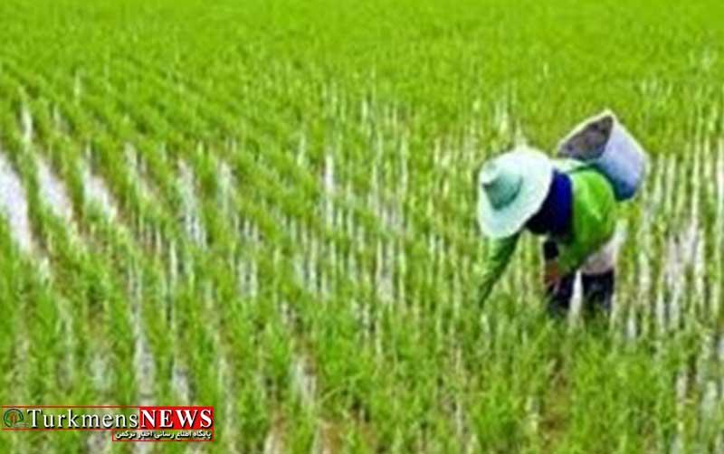 ممنوعیت کشت شالی در گلستان بدون ارائه برنامه علمی و عملی امکان پذیر نیست/ خشکه کاری برنج، راهکاری برای کاهش مصرف آب در بخش کشاورزی