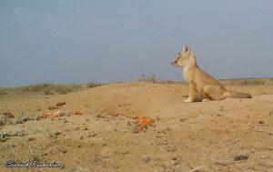 357080 911 300x189 - خطر انقراض روباه ترکمنی را تهدید میکند