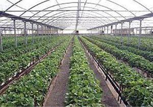 7333672 328 300x210 - گنبدکاووس رتبه اول گلستان در کشت گلخانهای